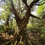 花山歩道 ハリギリ大木