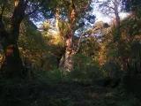 朝日が差す縄文杉