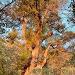 朝陽を浴びる縄文杉